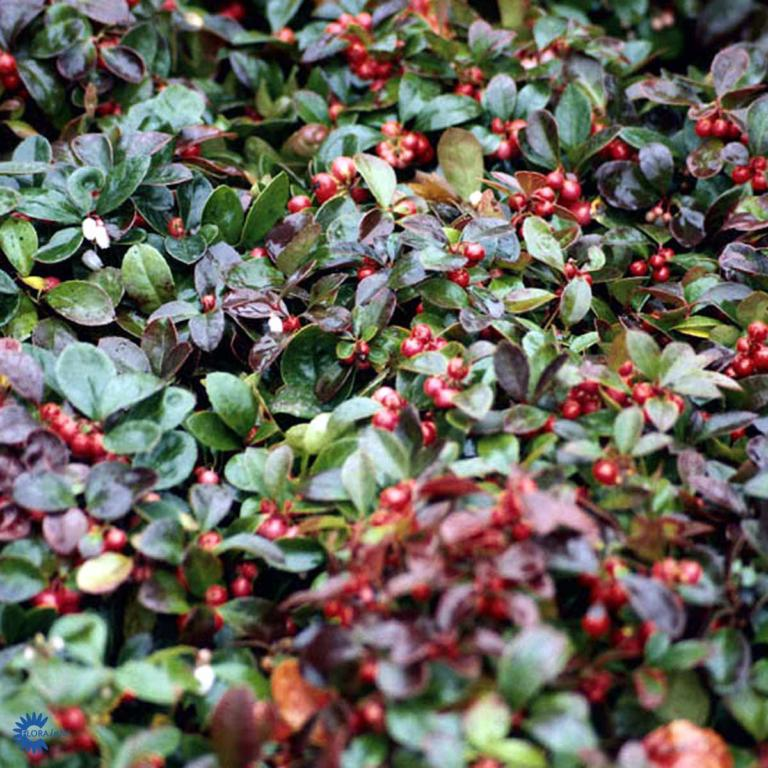 GAULTHERIA PRO. RED BARON
