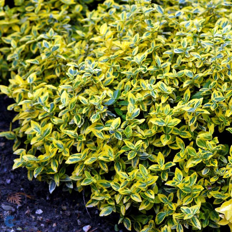 EUONYMUS FORT.'EMERALD GOLD'